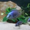 """Conosciamo il Placidochromis sp. """"jalo reef"""""""