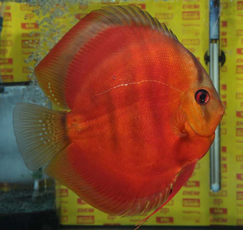[English] Mediterranea Discus 2010