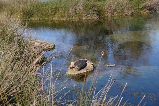 Avvistamento di una trachemys in acque salentine g a s for Tartaruga di palude