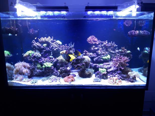 Guida all 39 allestimento di un acquario marino tropicale for Pesci per acquario tropicale