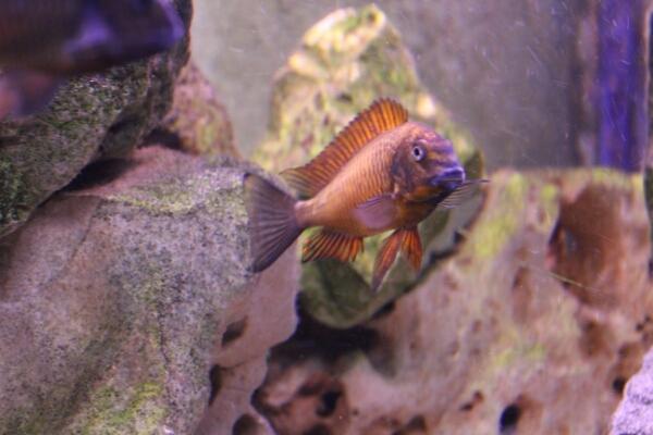 Una vasca per Tropheus sp. red Kachese